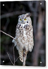 Great Horned Owl  Acrylic Print by Jack Bell