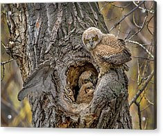 Great Horned Owlets In A Nest Acrylic Print