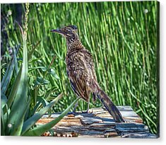 Greater Roadrunner Acrylic Print by Tam Ryan