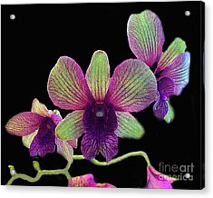 Green And Maroon Orchids Acrylic Print by Merton Allen