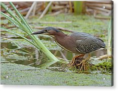 Green Heron Acrylic Print by Doug Herr