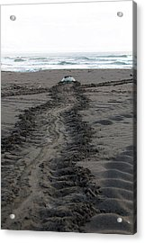 Green Sea Turtle Returning To Sea Acrylic Print