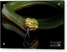 Green Tree Python. Morelia Viridis. Isolated Black Background Acrylic Print