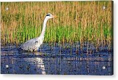 Grey Heron, Ardea Cinerea, In A Pond Acrylic Print