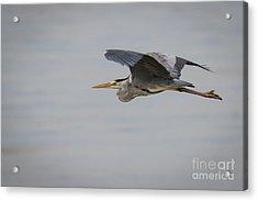 Grey Heron Acrylic Print by Jivko Nakev
