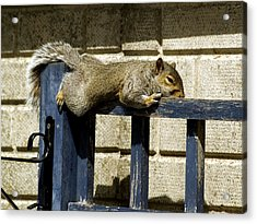 Grey Squirrel Acrylic Print by Mike Lester