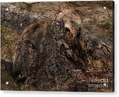 Grizzly Acrylic Print by Clare VanderVeen