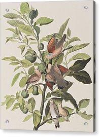 Ground Dove Acrylic Print