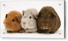 Guinea Pigs Acrylic Print