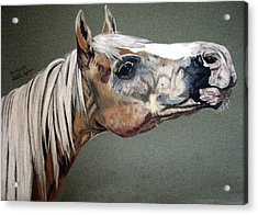 Acrylic Print featuring the drawing Haflinger by Melita Safran