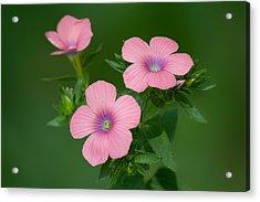 Hairy Pink Flax Acrylic Print by Yuri Peress
