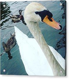 Hakucho Means Swan  Acrylic Print