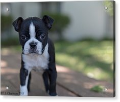 Harley As A Puppy Acrylic Print