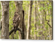Hawk Hunting In The Woods Acrylic Print