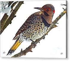 Hello Gorgeous Northern Flicker Acrylic Print