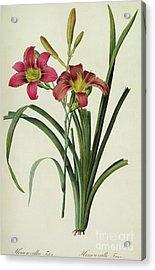 Hemerocallis Fulva Acrylic Print