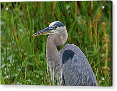 Heron Acrylic Print by Juergen Roth
