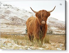 Highland Cow Acrylic Print by Grant Glendinning