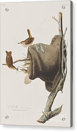 House Wren Acrylic Print by John James Audubon