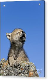 Howling Wolf Cub Acrylic Print