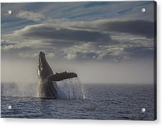 Humback Whale Breaching In Chatham Strait Acrylic Print
