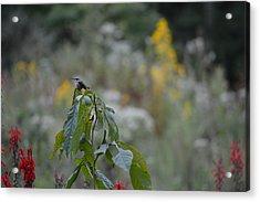Humming Bird Acrylic Print by Linda Geiger