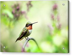Acrylic Print featuring the photograph Hummingbird II by Christina Rollo