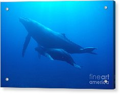 Humpback Mother And Calf Acrylic Print by Ed Robinson - Printscapes