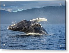 Humpback Whale Breaching In Chatham Strait Acrylic Print