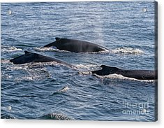 Humpback Whales In Ocean Acrylic Print