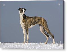 Hungarian Greyhound Acrylic Print