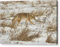 Hunting Acrylic Print by Scott Warner