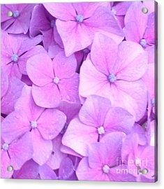 Hydragea  Acrylic Print