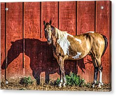 #0783 - Buckskin On Red Acrylic Print