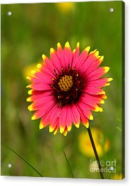 Indian Blanket Acrylic Print by Paul Anderson