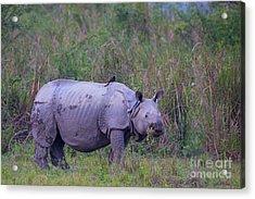 Indian Rhinoceros, India Acrylic Print