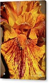 Iris Macro Acrylic Print by Robert Bales