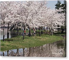 Japanese Cherry Blossom Trees Acrylic Print by April Sims