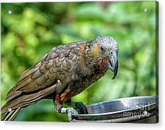 Acrylic Print featuring the photograph Kaka by Patricia Hofmeester