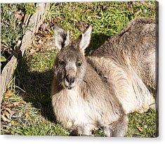Kangaroo - Canberra- Australia Acrylic Print