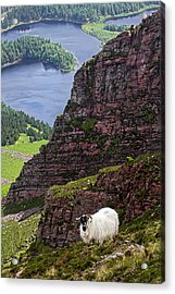 Kerry Mountain Sheep Ireland Acrylic Print by Pierre Leclerc Photography