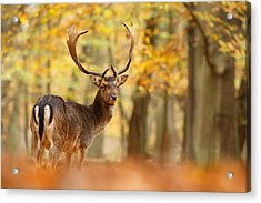 King Of The Forest _ Fallow Deer Buck Acrylic Print by Roeselien Raimond