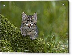 Kitten On A Mossy Tree Acrylic Print by Jean-Louis Klein & Marie-Luce Hubert