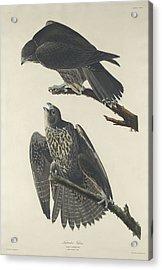 Labrador Falcon Acrylic Print by Anton Oreshkin