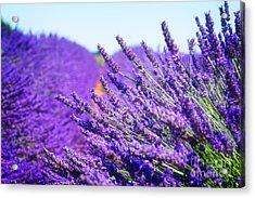 Lavender Field Acrylic Print by Anastasy Yarmolovich