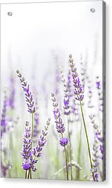 Lavender Flower In The Garden,park,backyard,meadow Blossom In Th Acrylic Print by Jingjits Photography