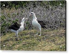 Laysan Albatross Hawaii #2 Acrylic Print