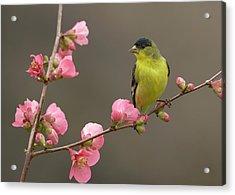 Lesser Goldfinch Acrylic Print by Doug Herr