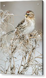 Lesser Redpoll Acrylic Print by Robert Canis/FLPA