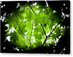 Light On Maple Leaves Acrylic Print by Jonathan Hansen